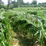 mombasa-seed-crops-2016-october-18_11