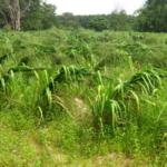 mombasa-seed-crops-2016-october-18_3