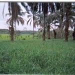 Mulato II Bajo palmas Honduras 2