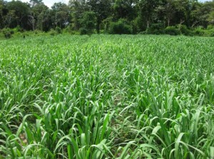 Brachiaria Grazing Seed. Tanzania Grass. Tropical Seeds.