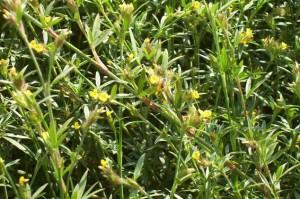 Grazing Perennial Legumes. Ubon Stylo. Tropical Seeds.