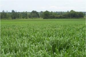 Brachiaria Pastures Grass. Mulato II Grass Seed. Tropical Seeds.