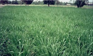 Perennial Grasses. Ubon Paspalum. Tropical Seeds.