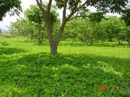 Brachiaria Perennial Legumes. Arachis Pintoi. Tropical Seeds.