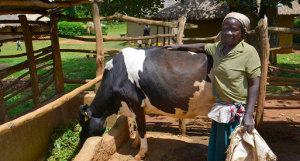 Farmer Syprose Aruma Apado, who lives in western Kenya's Siaya District, has doubled the production of her milk cow by incorporating Brachiaria grass into her mixed crop-livestock system. - See more at: http://www.ciatnews.cgiar.org/2014/10/23/an-african-grass-comes-home-for-good/#sthash.jL6OayAR.dpuf