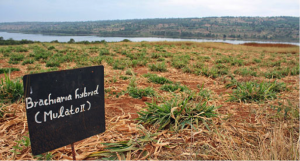 The Rwanda Agriculture Board (RAB) is testing Brachiaria grass, and producing both seed and hay at its Karama Research Station in Bugesera District.