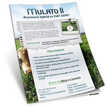 Mulato II Grass Seed. Technical & Commercial Brochure. Tropical Seeds.
