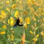 Xylocopa 2 NAtive Crotolaria pollinator
