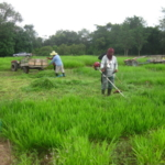 bracharia-trial-2016-september-cutting-whole-plots-after-sampling_1