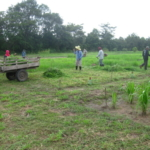 bracharia-trial-2016-september-cutting-whole-plots-after-sampling_2