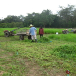 bracharia-trial-2016-september-cutting-whole-plots-after-sampling_3