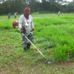 bracharia-trial-2016-september-cutting-whole-plots-after-sampling_4