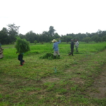 bracharia-trial-2016-september-cutting-whole-plots-after-sampling_6