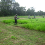 bracharia-trial-2016-september-cutting-whole-plots-after-sampling_7