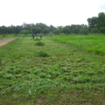 bracharia-trial-2016-september-cutting-whole-plots-after-sampling_8