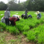 brachiaria-trial-2016-september-cutting-and-sampling_04