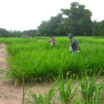 mombasa-seed-trial-serptember-2016-applying-fertiliser_1