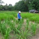 mombasa-seed-trial-serptember-2016-applying-fertiliser_3