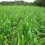 mun-river-guinea-seed-crop-field-2016-september-six-weeks-after-planting_1