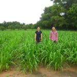 mun-river-guinea-seed-crop-field-2016-september-six-weeks-after-planting_2