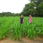 mun-river-guinea-seed-crop-field-2016-september-six-weeks-after-planting_3