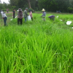 panicum-trials-september-2016-cutting-and-sampling_4