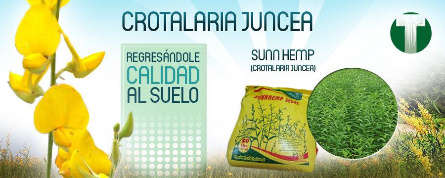 Crotalaria Juncea - Pasto tropical en semilla para forraje