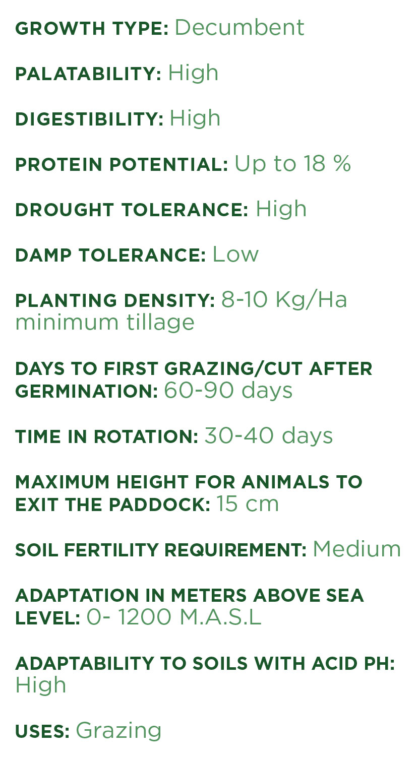 Camello Grass - Features. Tropical Seeds