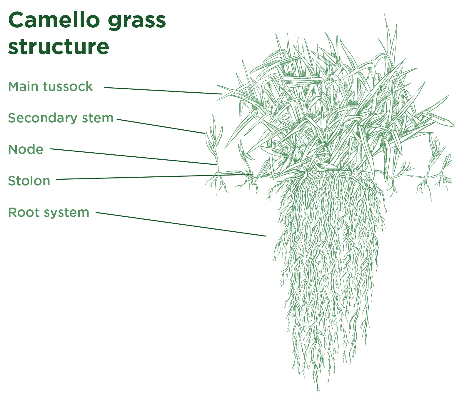 Camello Grass - Structure and type of growth. Tropical Seeds