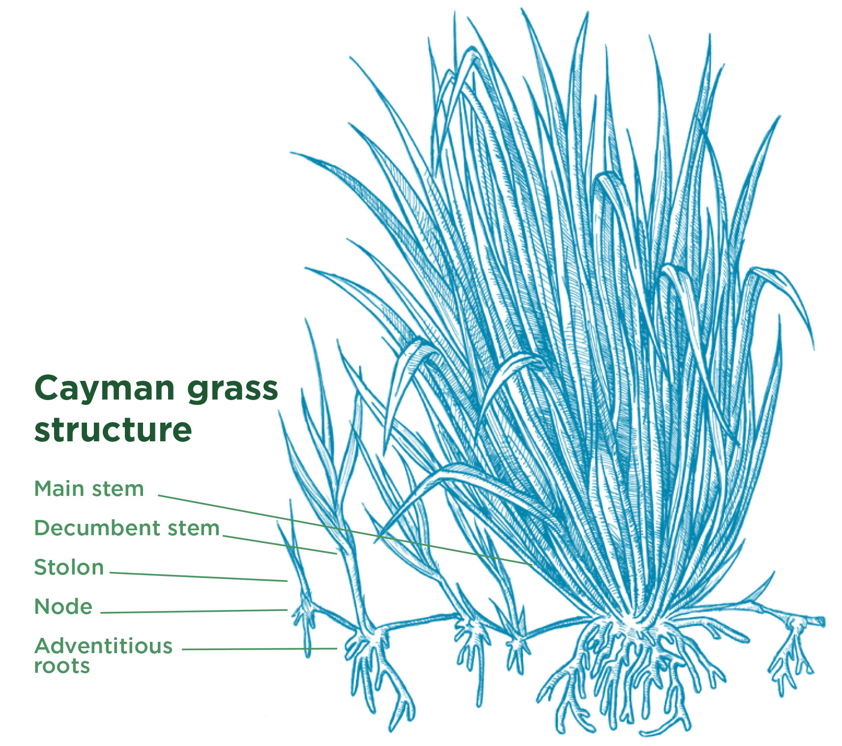 Cayman Grass - Growth Type. Tropical Seeds